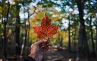 hand holding red maple leaf on background of dark trees